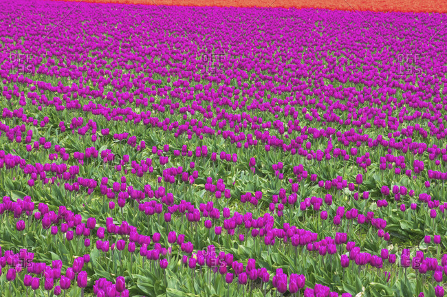 USA- Washington State- Skagit Valley- tulip field