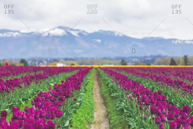 USA- Washington State- Skagit Valley- tulip field