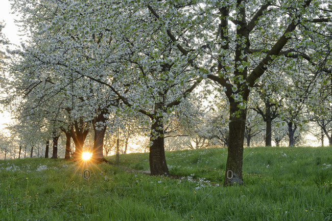Germany- Baden-Wuerttemberg- Cherry trees at blossom with sunrays near sunrise at backlight in spring