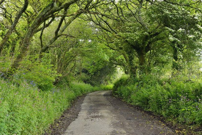 United Kingdom- England- Cornwall- Narrow country road tree lined in forest