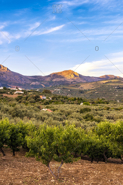 Spain- Mondron- view to olive grove with peach trees in the foreground