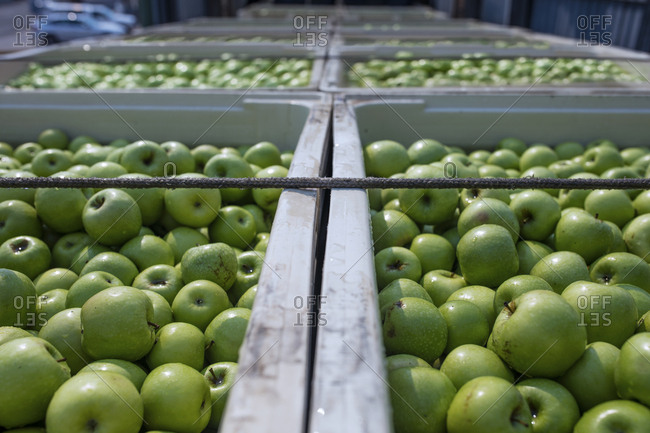 Green apples in crates on truck