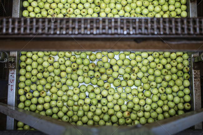 Green apples in factory being washed