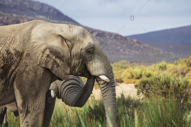 South Africa- Aquila Private Game Reserve Elephant- Loxodonta Africana