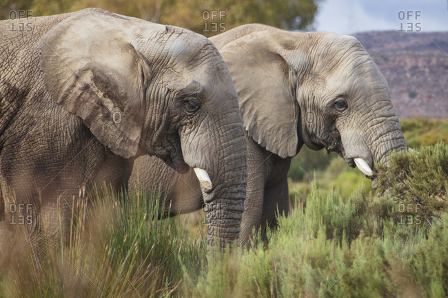 South Africa- Aquila Private Game Reserve- Elephants- Loxodonta Africana