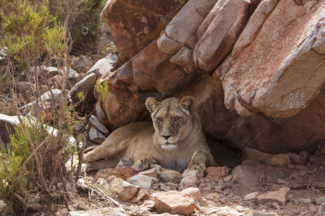 South Africa- Aquila Private Game Reserve- Lioness- Panthera leo