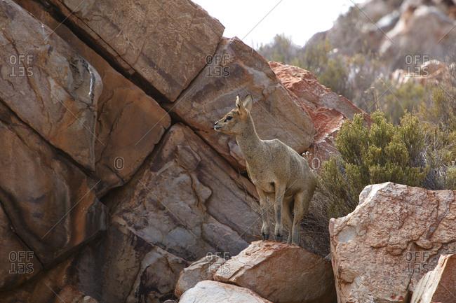 South Africa- Aquila Private Game Reserve- Klipspringer- Oreotragus oreotragus