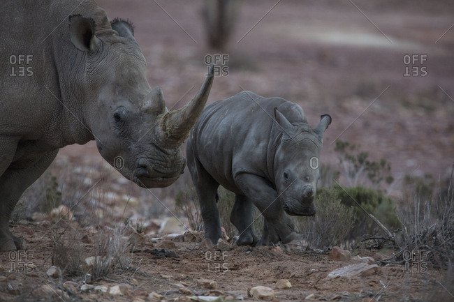 South Africa- Aquila Private Game Reserve- Rhino and baby rhino- Rhinoceros