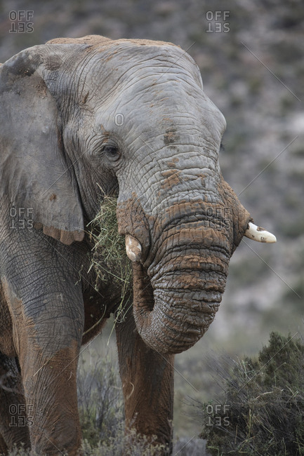 South Africa- Aquila Private Game Reserve- Elephant- Loxodonta Africana