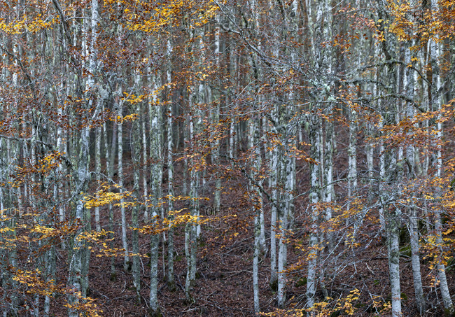 Beautiful trees growing in amazing autumn forest in Burgos, Spain