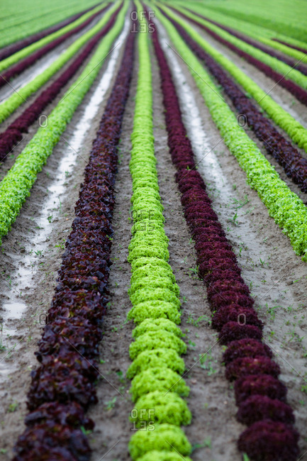 Rows of plants on farm