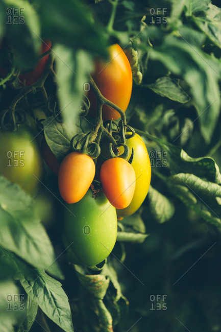 Green and orange tomatoes growing on plant's twigs with leaves