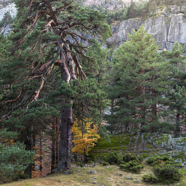 Trees in conifer forest