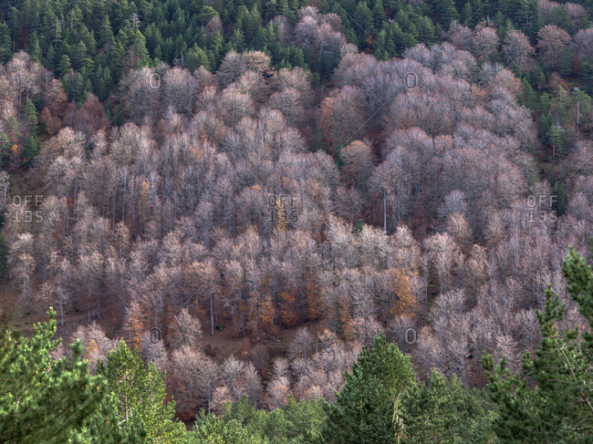From above dry grey woods between verdant coniferous forest in Soria, Spain