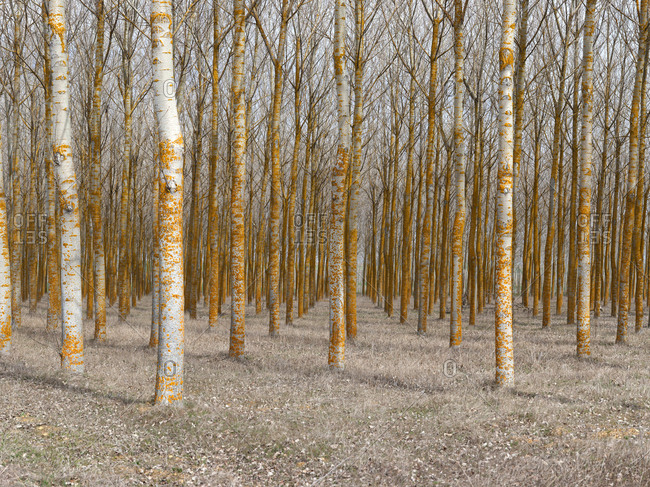 Tranquil empty woods with rows of bare trees in calm daylight