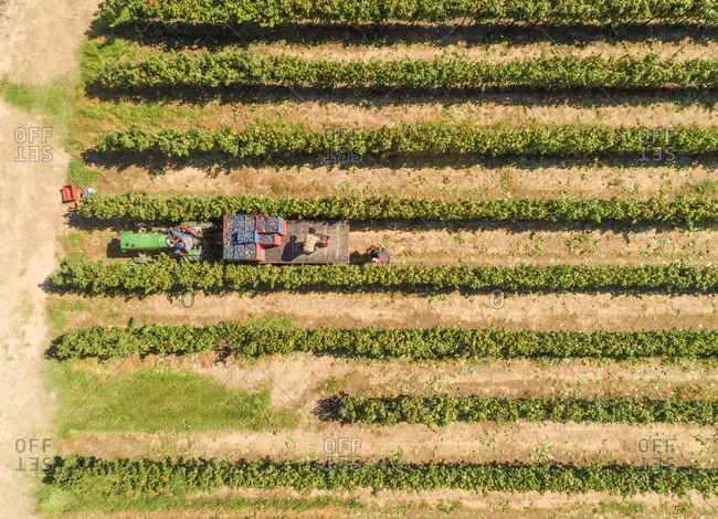 Aerial view of local farmers loading tractor with grapes in vineyard field, Greece.