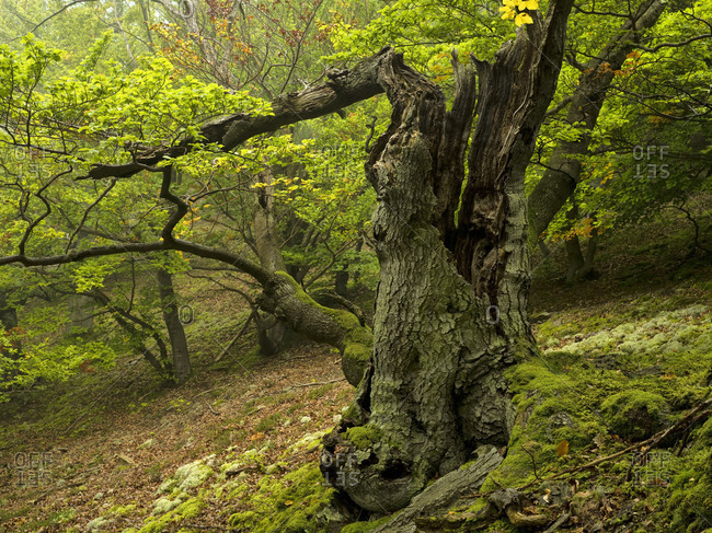 Germany, Hesse, Vohl, nature and national park Kellerwald-Edersee, gnarled beech at the Muhlecke, primeval forest trail