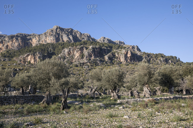 Olive grove at Escorca, behind the rock walls of the Puig Roig, Mallorca, Balearic Islands, Spain