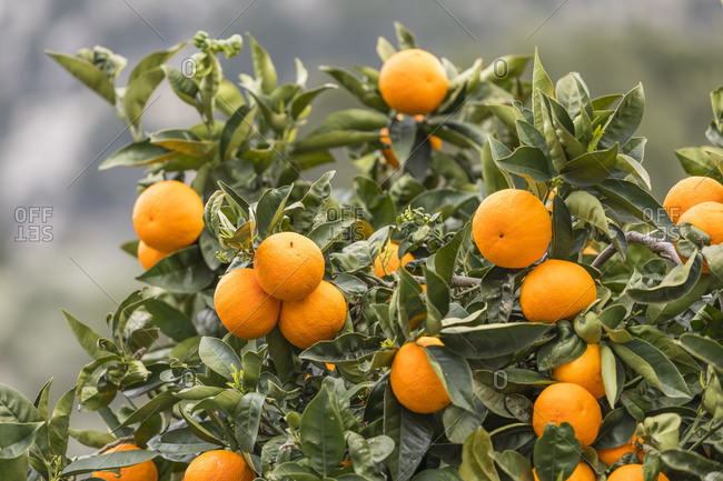 Oranges on the tree, Fornalutx, Mallorca, Balearic Islands, Spain