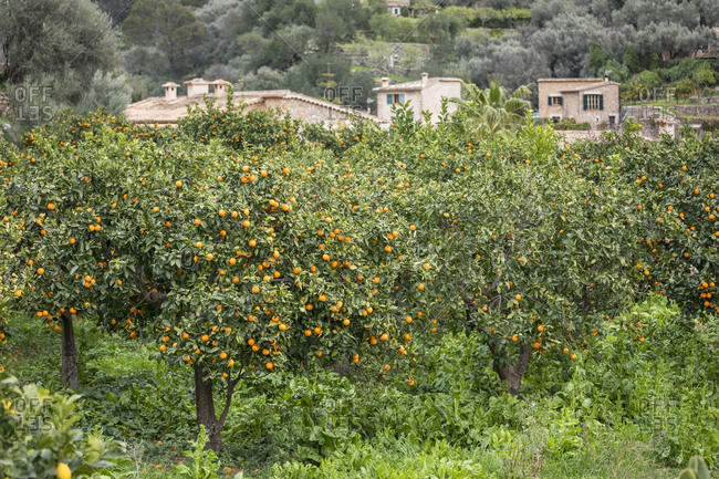 Orange trees in Fornalutx, Mallorca, Balearic Islands, Spain
