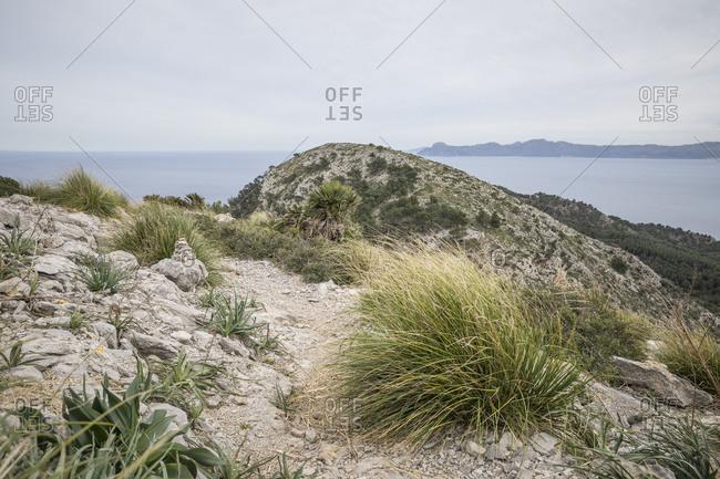 Dissgras (Ampelodesmos mauretanica) on the trail, hike on the peninsula Alcudia, Mallorca, Balearic Islands, Spain