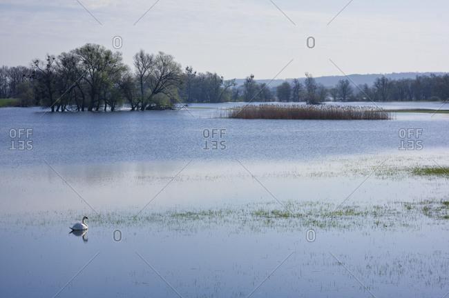 Germany, Brandenburg, Uckermark, Criewen, Lower Oder Valley National Park, Mute Swan in the Oder at Criewen