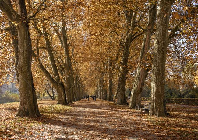 Tree avenue on Neckarinsel in autumn, Tubingen, Baden-Wurttemberg, Germany