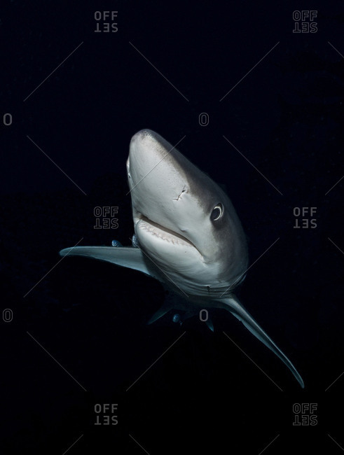 Blue shark, shark photographed in the Atlantic Ocean by night