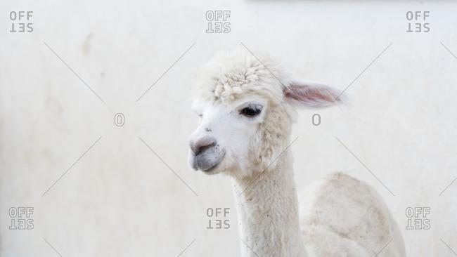 Alpaca, portrait