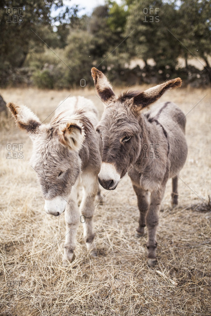 Couple of donkeys in a place in Spain