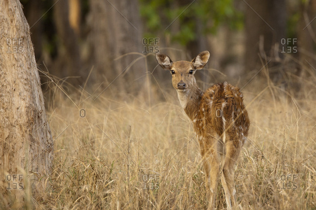 Chital in India