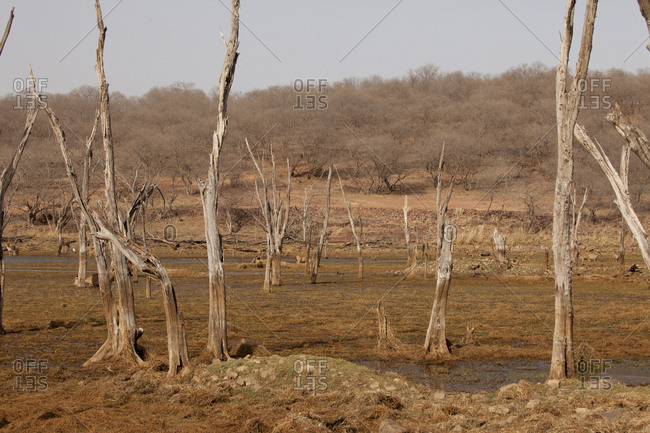Dead trees in Indian savanna