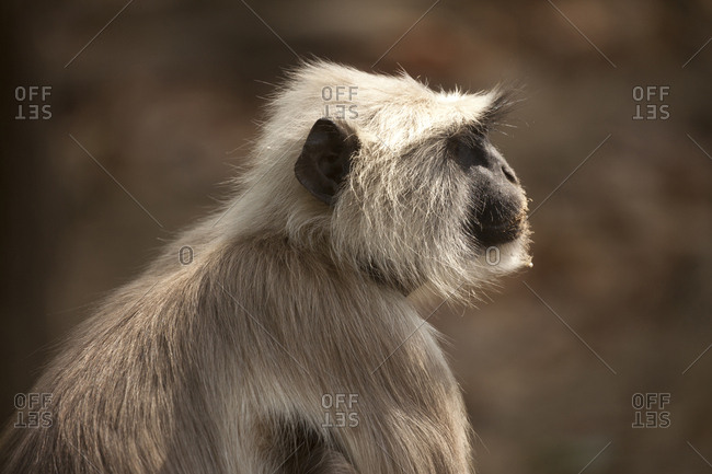 Northern plains gray langur