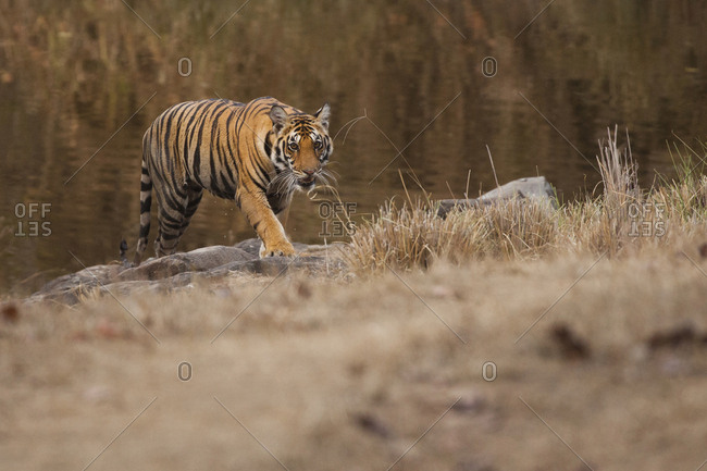Tiger walking by river