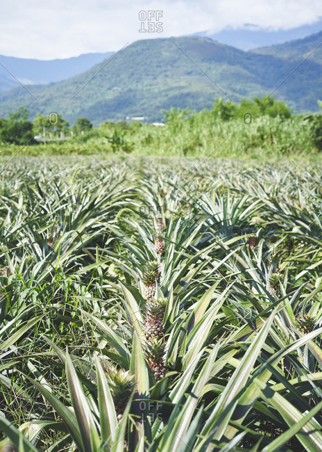 A field of pineapples growing with hills in the background