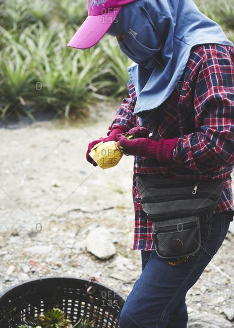 Taiwan, China - November 2, 2017: A pineapple seller cuts up some fresh pineapple