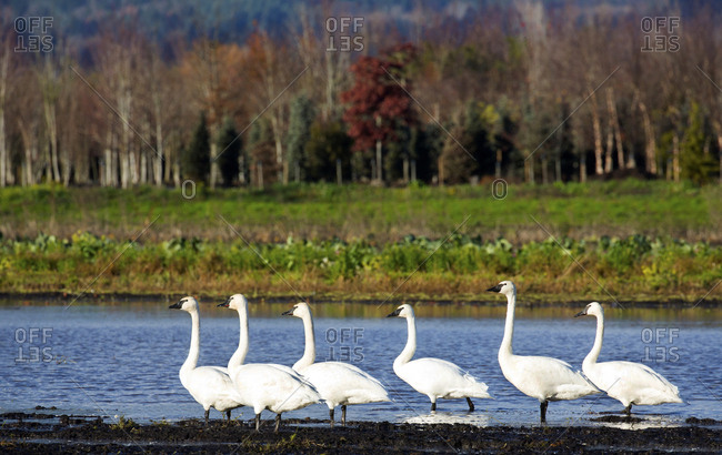 Flock of trumpeter swans wading in the water near Victoria, British Columbia