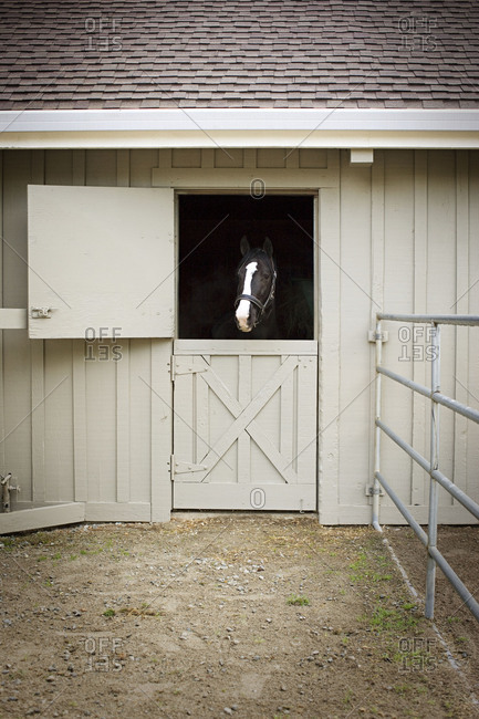 Portrait of a black and white horse looking out of a stable door on a farm.