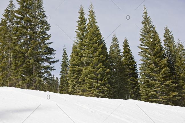 Trees on snowy mountain