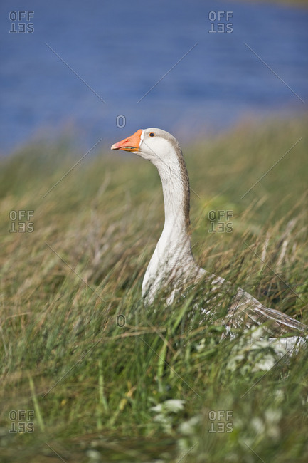 White goose standing in tall grass near a riverbank.