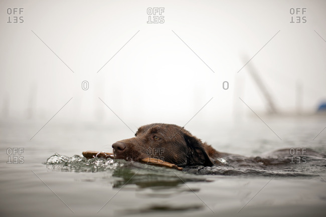 Brown dog holds a stick in its mouth as it swims neck-deep through the waters of a foggy harbour.