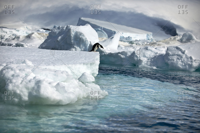 Penguin contemplates jumping off the edge of an iceberg.