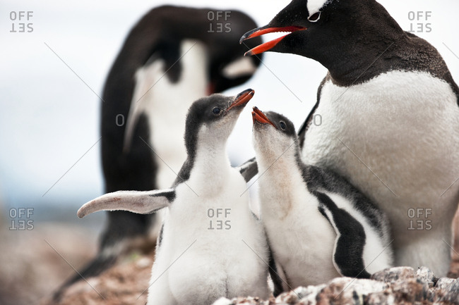 Mother caring and protecting her baby penguins.
