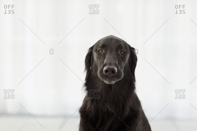 Portrait of a dog in front of white curtains.