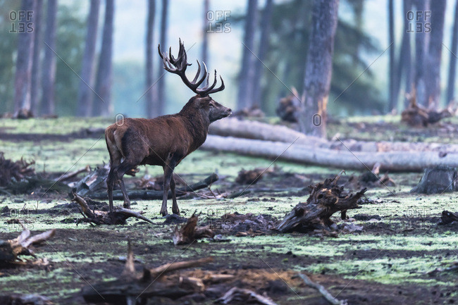 Large male deer in a forest