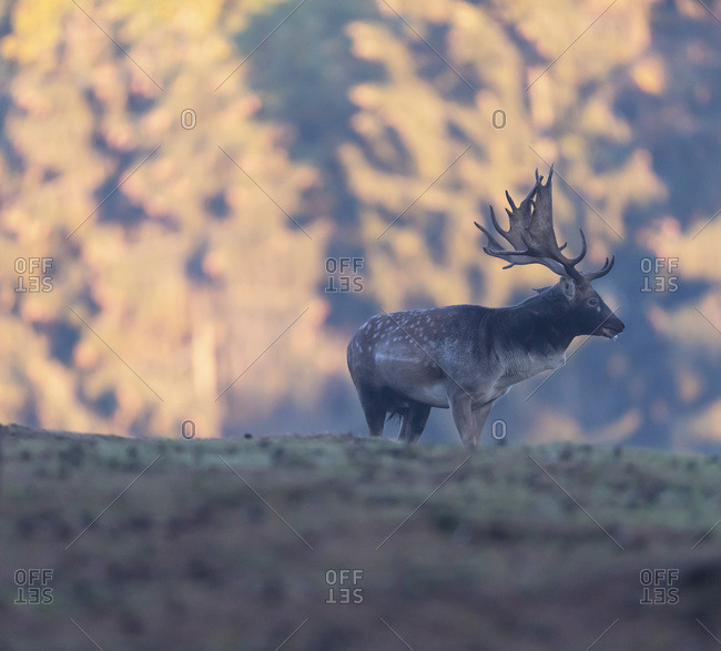 Large male fallow deer
