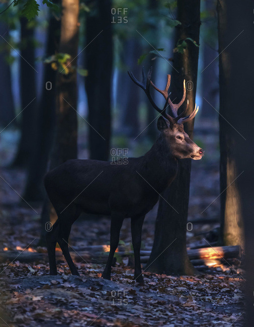 Male deer walking in a forest at dawn