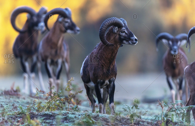 Herd of Mouflon - Offset Collection