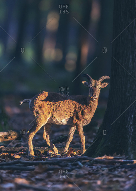 Young male Mouflon