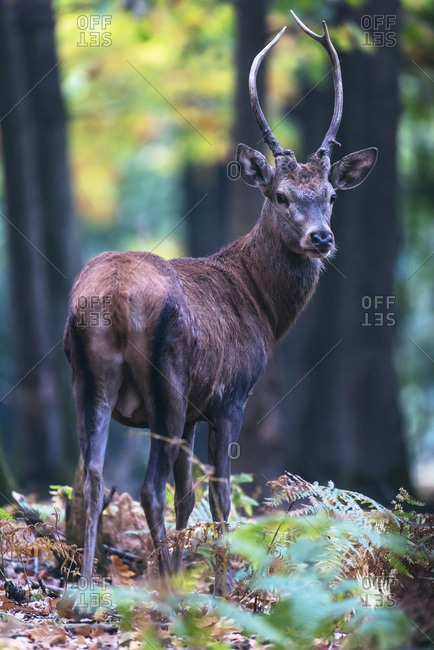 Male deer with skinny antlers in a forest
